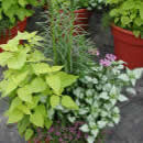 Mixed Planter with Sweet Potato Vine and Lamium